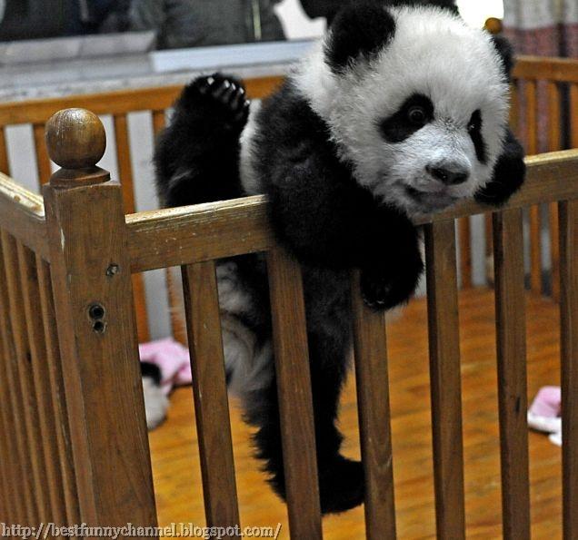 Funny baby pandas.