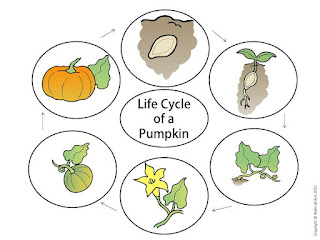 life cycle of a pumpkin poster