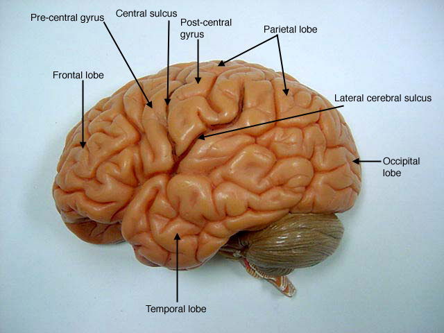 Brain Anatomy Model8