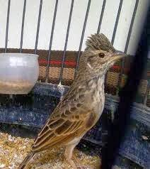 Jenis Burung Dan Kisaran Harga