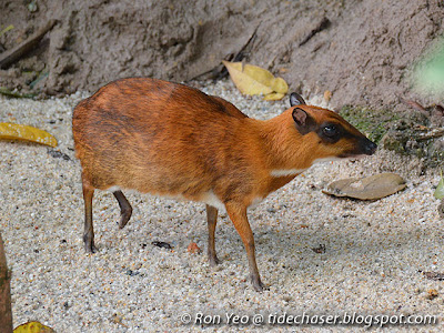 Greater Mouse Deer (Tragulus napu)