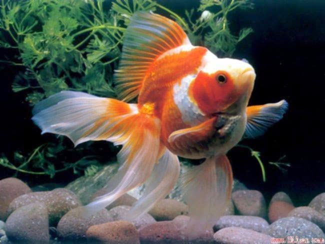 Gold fish types of goldfish for Fish that can live with goldfish