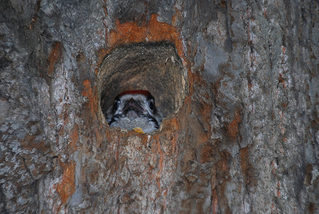 Птенец дятла в парке Лысьвы