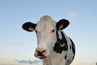 contoh sapi perah