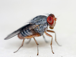 Cancer Drug Makes Fruit Flies Live Longer