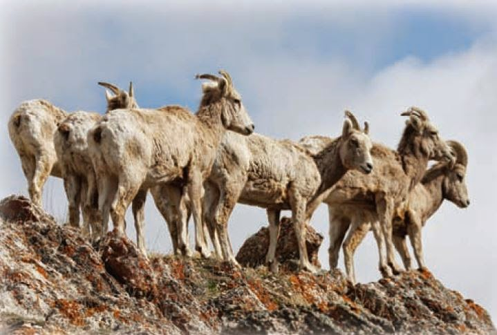 image of bighorn sheep from the Montana Bighorn Sheep Conservation Strategy, 2010