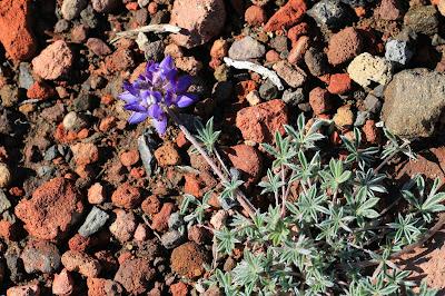 Lupinus lepidus var. lobbii – Dwarf lupine on pumice and scoria