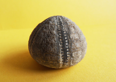 Fossil Echinocorys echinoid