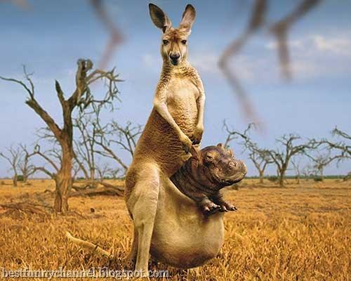 Kangaroo and hippo