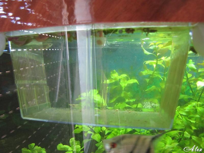 Отсадник в аквариум своими руками 220