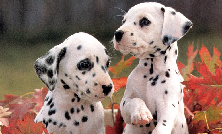 Dalmatian-puppies.jpg