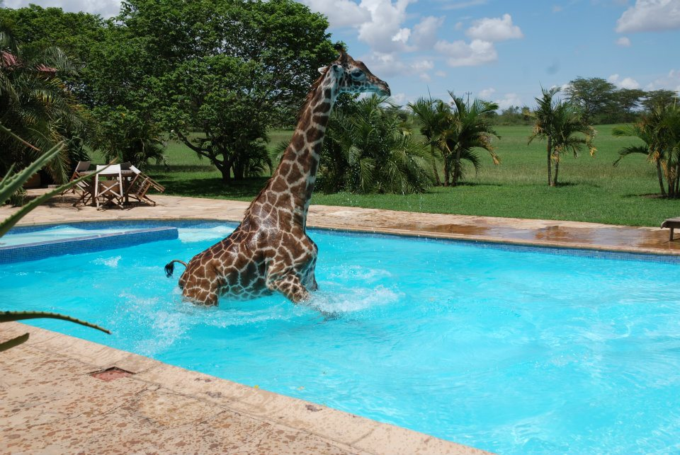 giraffe playing in swimming pool 6 pics amazing creatures. Black Bedroom Furniture Sets. Home Design Ideas