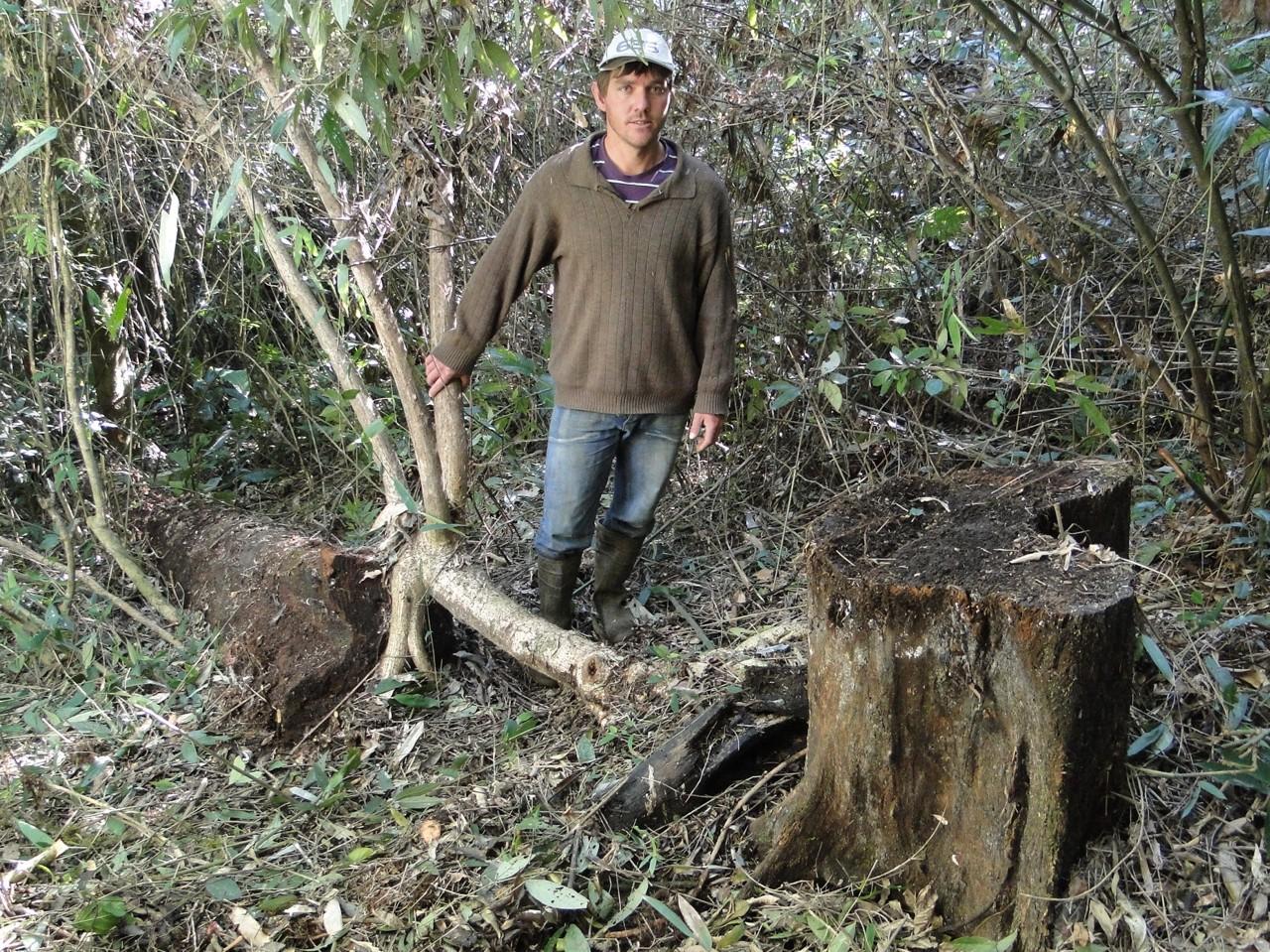 Cepo e tronco da canela preta ( Ocotea catharinensis ) abatida há  #796552 1280x959