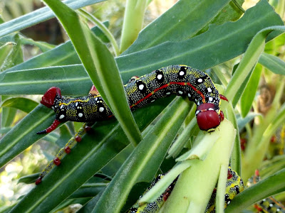 Hyles 'Sammuti' caterpillar