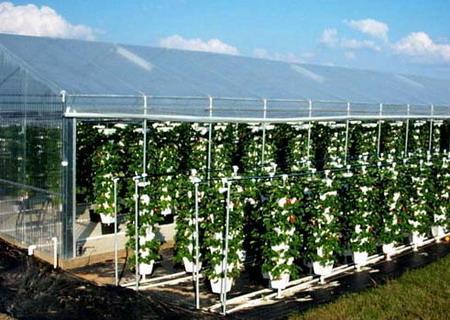 Выращивание клубники 46