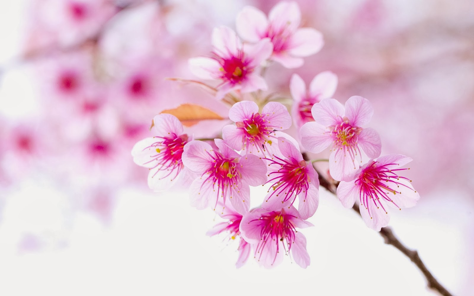 Cute pink flowers flowers wallpapers Cherry blossom pictures