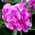Colorful Flowers Pea photos