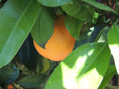 fruit tree, adelaide