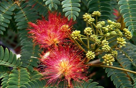 Cuidados rbol de la seda verde jard n for Arboles de hoja perenne que crece rapido