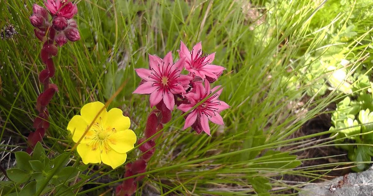 Epicuro e le erbe fiori e piante delle alpi for Piante fiori