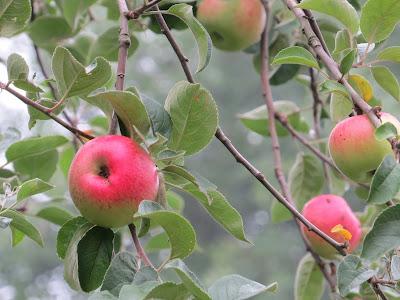 Zure, rijpende appels