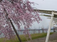 しだれ桜、カップル居る