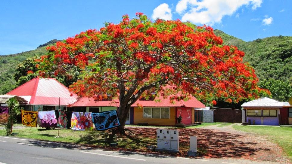 Flamboyant en fleur à Maharepa