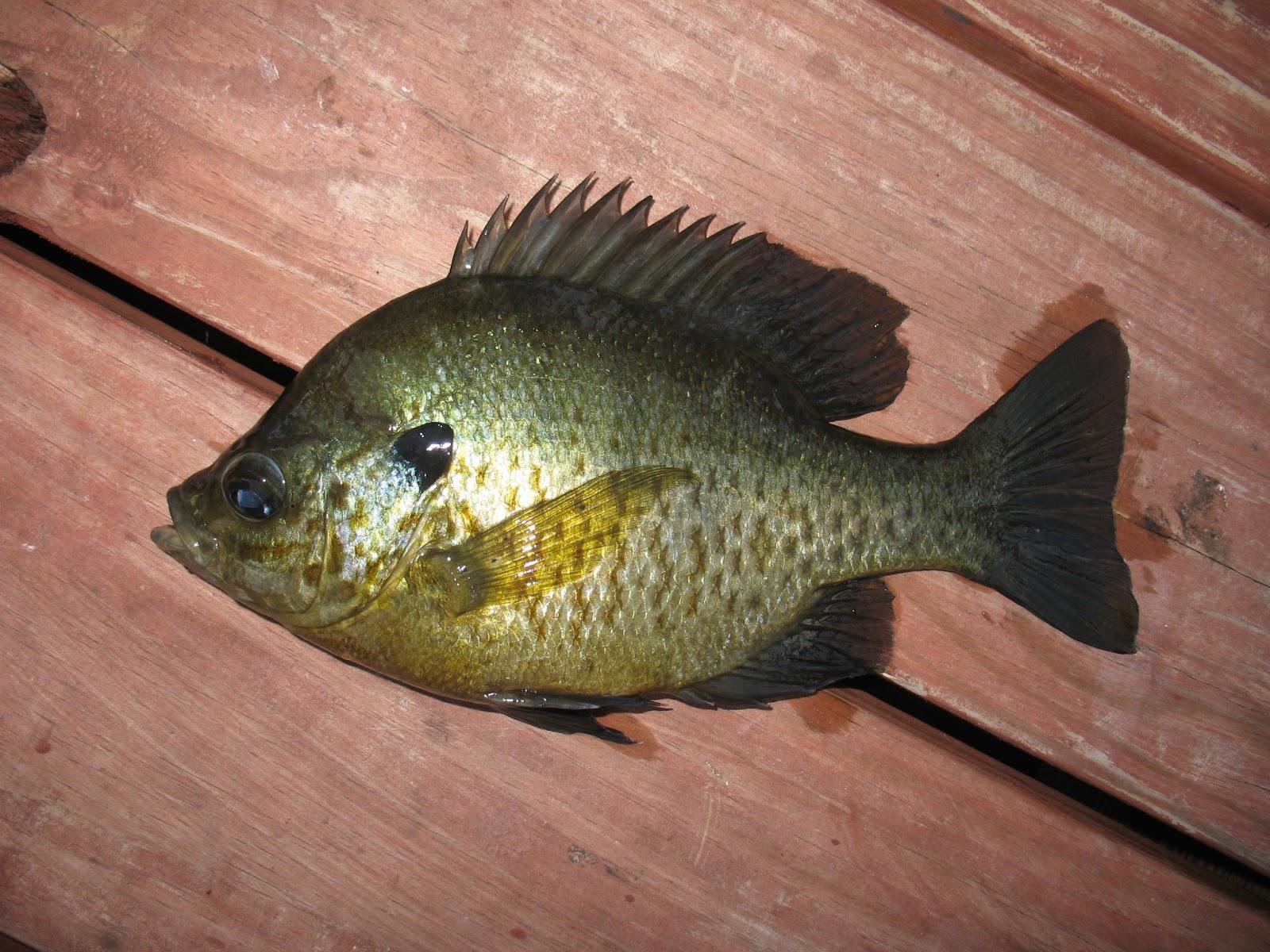 Redear Sunfish (Lepomis microlophus) - new species #2