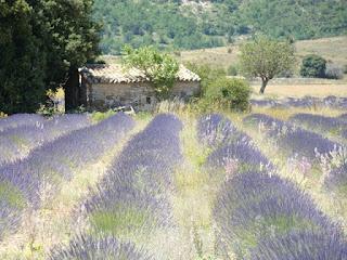 Lavender field near Banon, Haute Provence