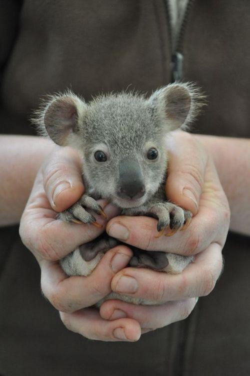 SANDAL SISEAN: Baby koala