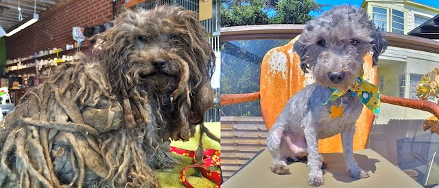 Asombrosa transformación de perro rescatado