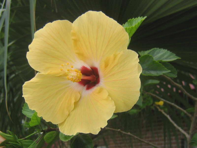 yellow hibiscus plant - photo #18