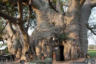 Bar Di Dalam Pohon Baobab