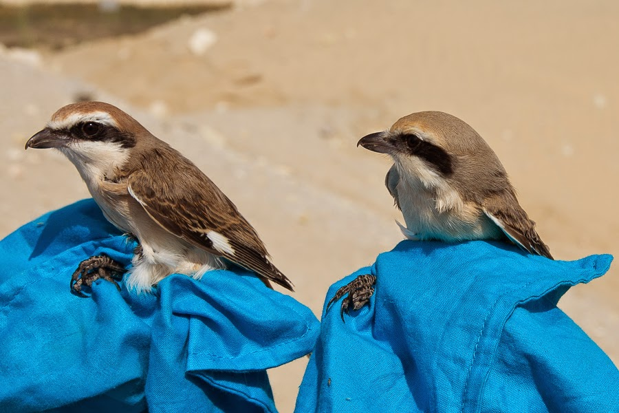 Turkestan Shrike (left) & Daurian Shrike (right)