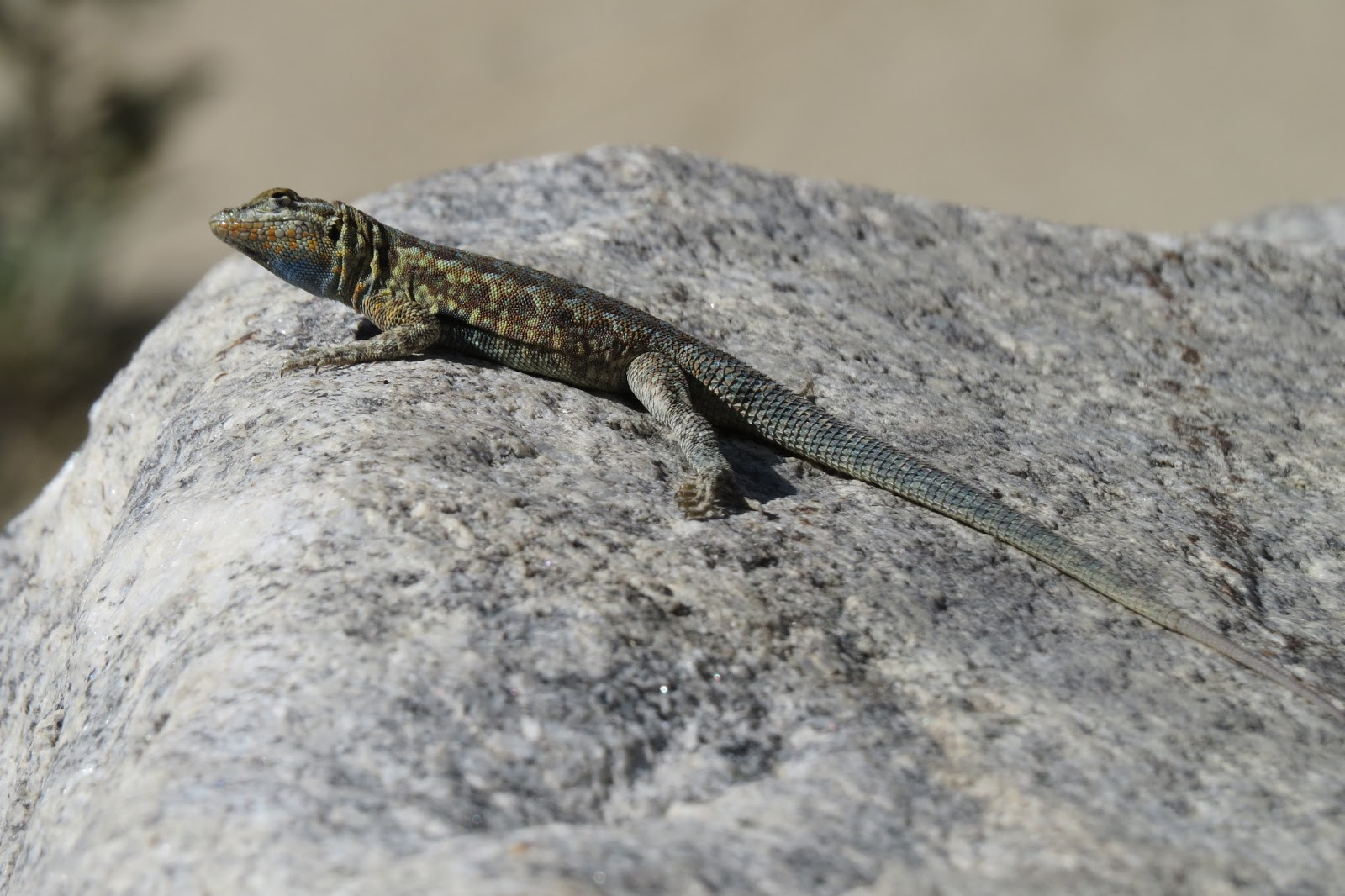 Indian Canyon lizard