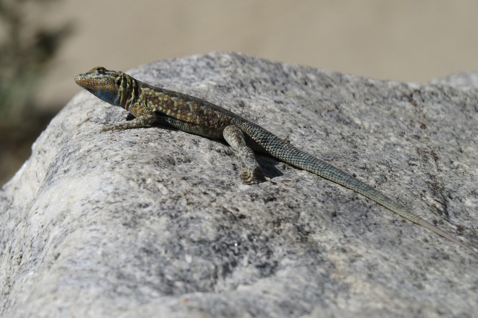 Indian Canyon lizard