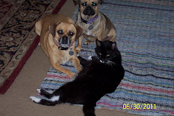 A Puggle, A Jug, and a Tuxedo Cat