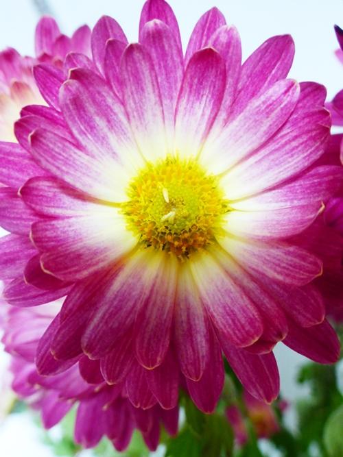 Blumen rosa Astern