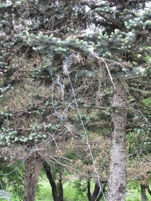 Eastern Kingbird's stringy nest