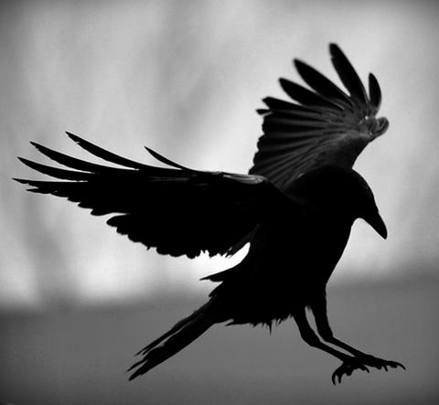 Cuervos para Tyland Lannister  Bn-cuervo