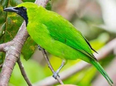 Gambar Cara Merawat Burung Cucak