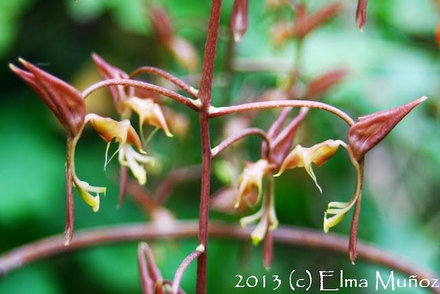 Gongora quinquenervis. Orquideas del Perú
