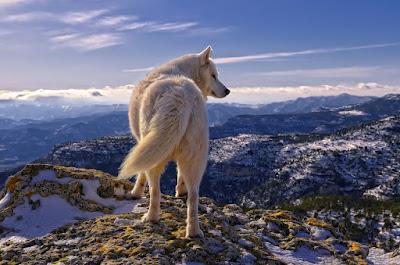 Perro huski siberiano - Siberian huski