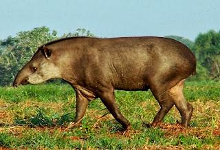 Anta animais pantanal