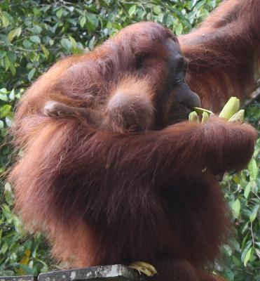 Orango Malesia