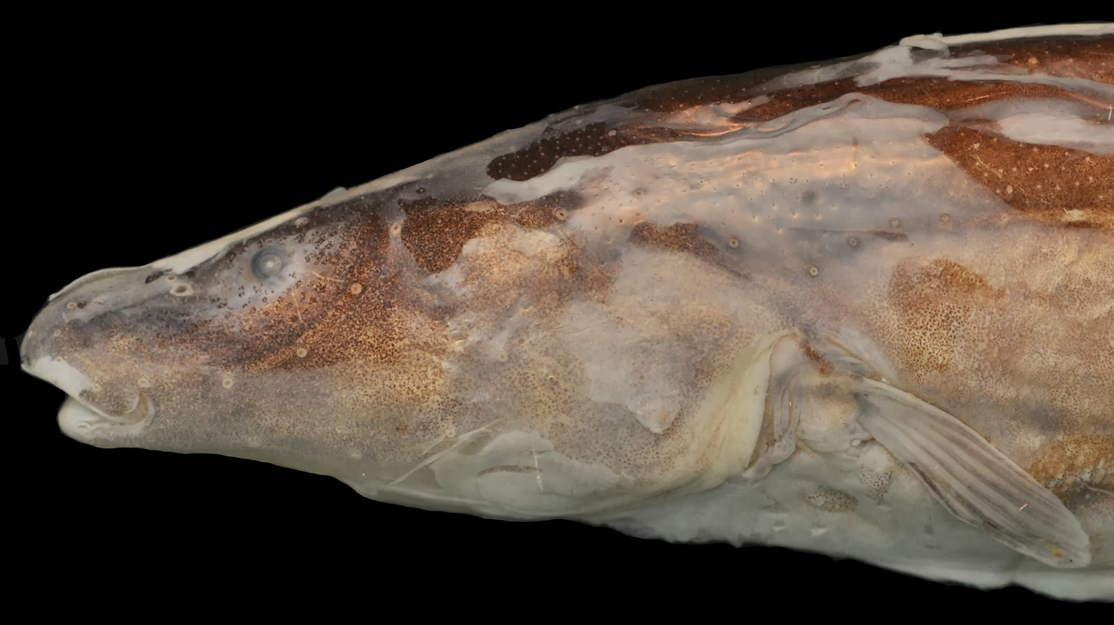 New genus of electric fish discovered in 39 lost world 39 of for New fish discovered