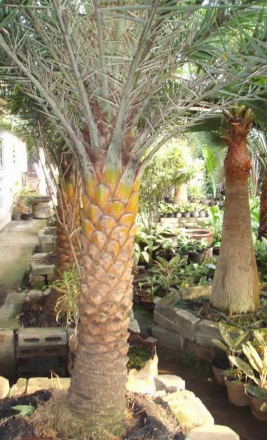 Jual pohon palem kenari | pohon palem kurma | jual tanaman hias