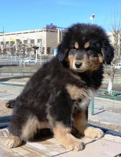 Монгольские собаки, овчарка банхар.