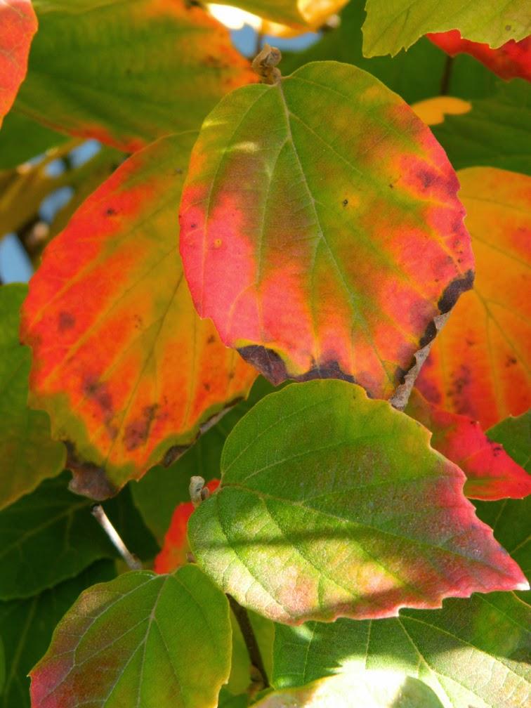 Fall foliage Fothergilla gardenii dwarf fothergilla Toronto Botanical Garden by garden muses-not another Toronto gardening blog