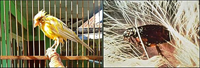 Cara Jitu Pencegahan dan Pengobatan Kutu Burung Ocehan